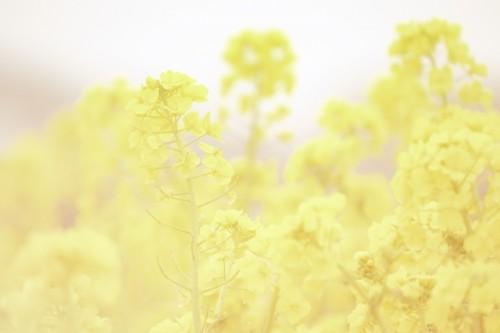 菜の花 岡山